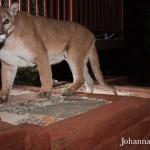 Lion4_Johanna Turner_WM.jpg
